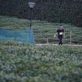 十里琅珰和茶园